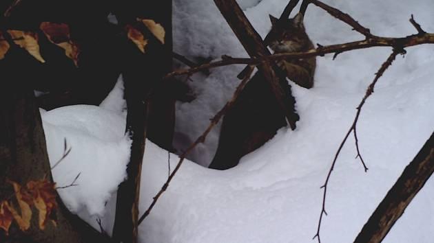 Kočka divoká v Bílých Karpatech.