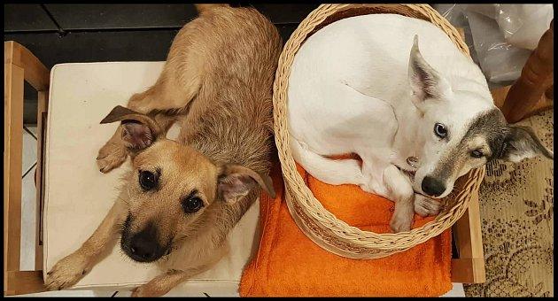 Rodina zBlučiny se ujala hned dvou psů - fenky Žofky a pejska Rezáčka. Předchozímu majiteli byli zabaveni kvůli týrání.