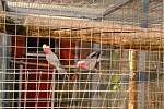Pátrání po ukradených papoušcích kakadu.