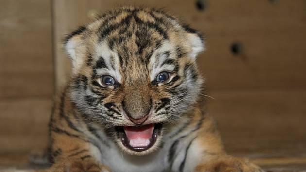 V hodonínské zoo se podařilo odchovat mláďata tygra ussurijského.