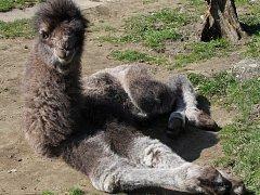 Mládě velblouda dvouhrbého v hodonínské zoologické zahradě.