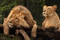 Lví dvojčata Anoona a Akashinga odjela z Brna do polských zoo.