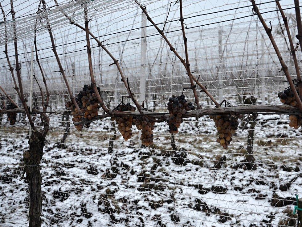 Zástupci vinařství Maláník-Osička z Mikulčic v pondělí sbírali hrozny na výrobu ledového vína. Teploty při sklizni musely být minimálně minus sedm stupňů.