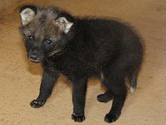 Mládě vlka hřivnatého v hodonínské zoo.
