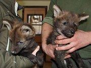 Vlci hřivnatí v hodonínské zoo.