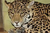 Nový přírustek hodonínské zoo – desetiměsíční jaguářice Gracia.