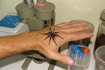 Na Hodonínsku se objevil nový druh pavouka – slíďák kouřový