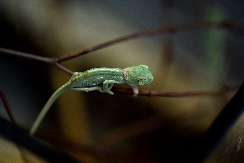 Chameleoni jemenští, kteří se koncem dubna vylíhli v hodonínské zoologické zahradě.