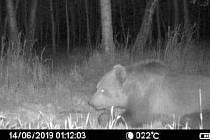 Medvěda migrujícího jižní Moravou zachytily dvě fotopasti v lesích u Bzence.