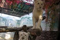 Samice lva jihoafrického v hodonínské zoo.