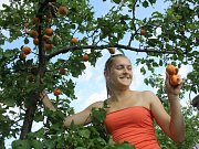 Vacenovický meruňkový sad vydává své letošní plody.