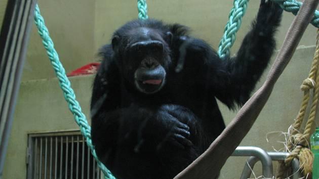 Ředitel hodonínské zoologické zahrady Martin Krug přišel s myšlenkou unikátní projekce pro šimpanze. Ti mohou sledovat, jak se mají jejich druhoví kolegové v Africe. Tímto způsobem se jim mohou vrátit původní návyky, které ztratili za života v zajetí.