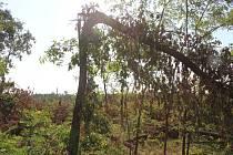 Následky tornáda v lesích mezi hodonínskou osadou Pánov a Ratíškovicemi.