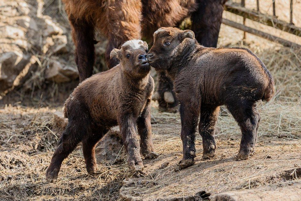 Mláďata takinů indických se koncem února narodila v brněnské zoo.