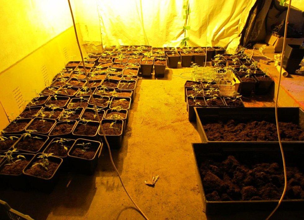 Mladý muž na Kyjovsku pěstoval a sušil stovky rostlin konopí. Kriminalisté jej zadrželi.