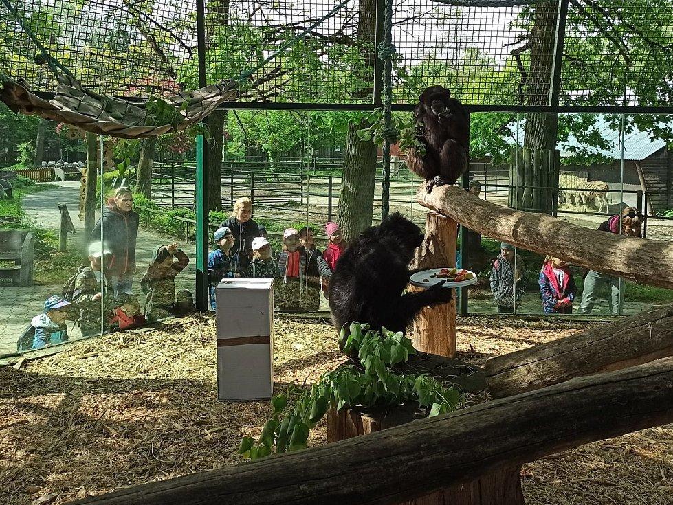 Narozeninové zpestření pro hodonínské šimpanze.