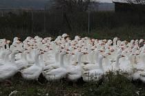 Rybářství Hodonín chová na Hodonínsku husy u čtyř rybníků. Ani zvyšující se počet hus před svatým Martinem nepokryje poptávku.