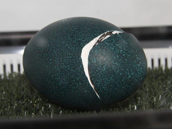 Mláďata emu hnědého se vhodonínské zoo vylíhla zmodrých vajec.