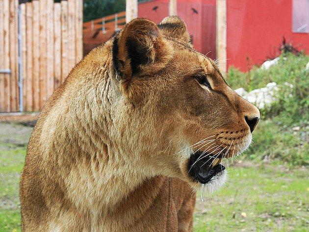 Lvi a tygři ve výběhu budí v lidech ostražitost