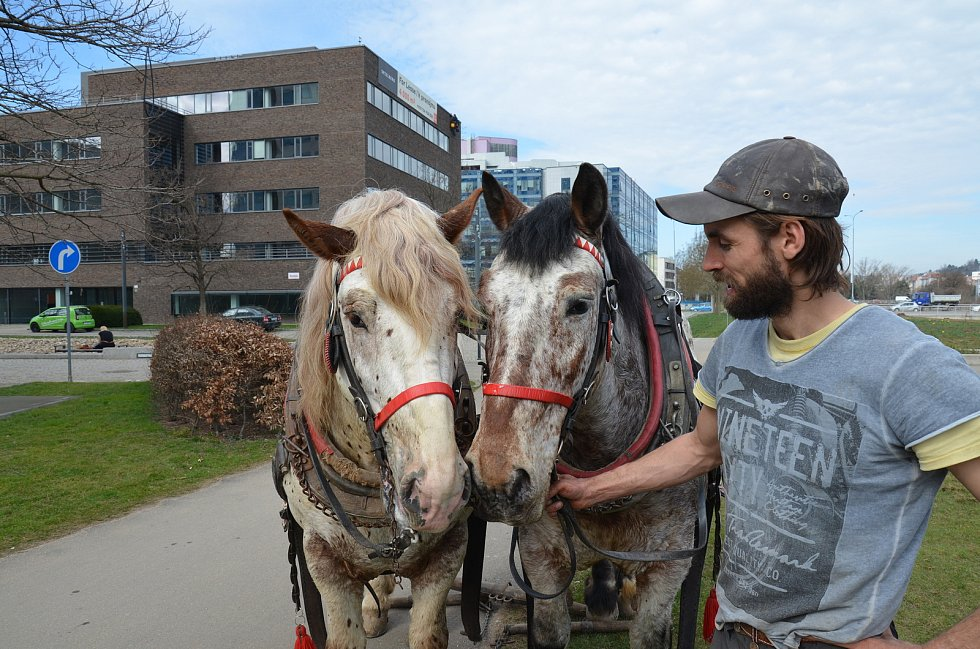 Otakar Sněhota s koňmi převážně tahá dřevo a klády z lesa nebo orá na poli. Se synem pracují spolu.