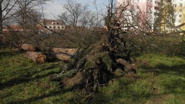 Jeden ze spadlých stromů zachycený po odklizení.