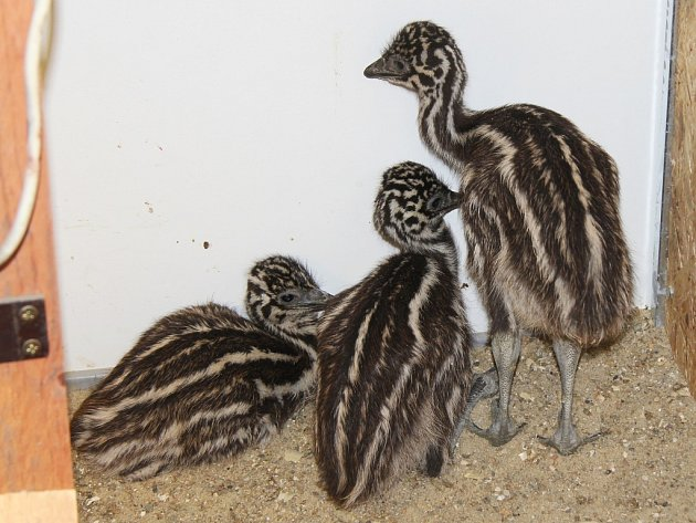 Mláďata emu hnědého se v hodonínské zoo vylíhla z modrých vajec.