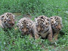 Hodonínská tygřice má čtyřčata.