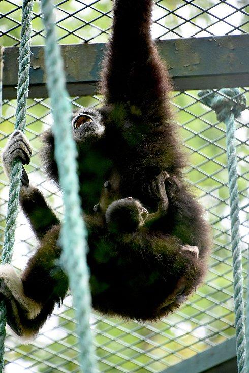 Giboni lar v hodonínské zoologické zahradě.