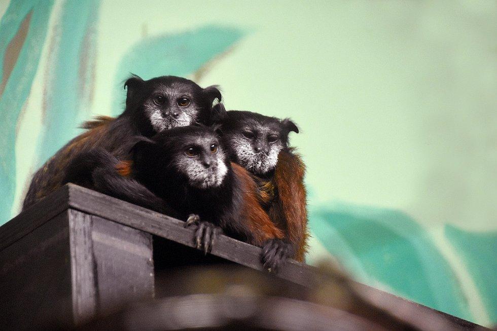 Tamaríni sedloví se zabydlují v hodonínské zoo.