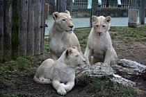V ZOO oslaví Mezinárodní den lvů
