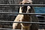 Velbloud v hodonínské zoo.