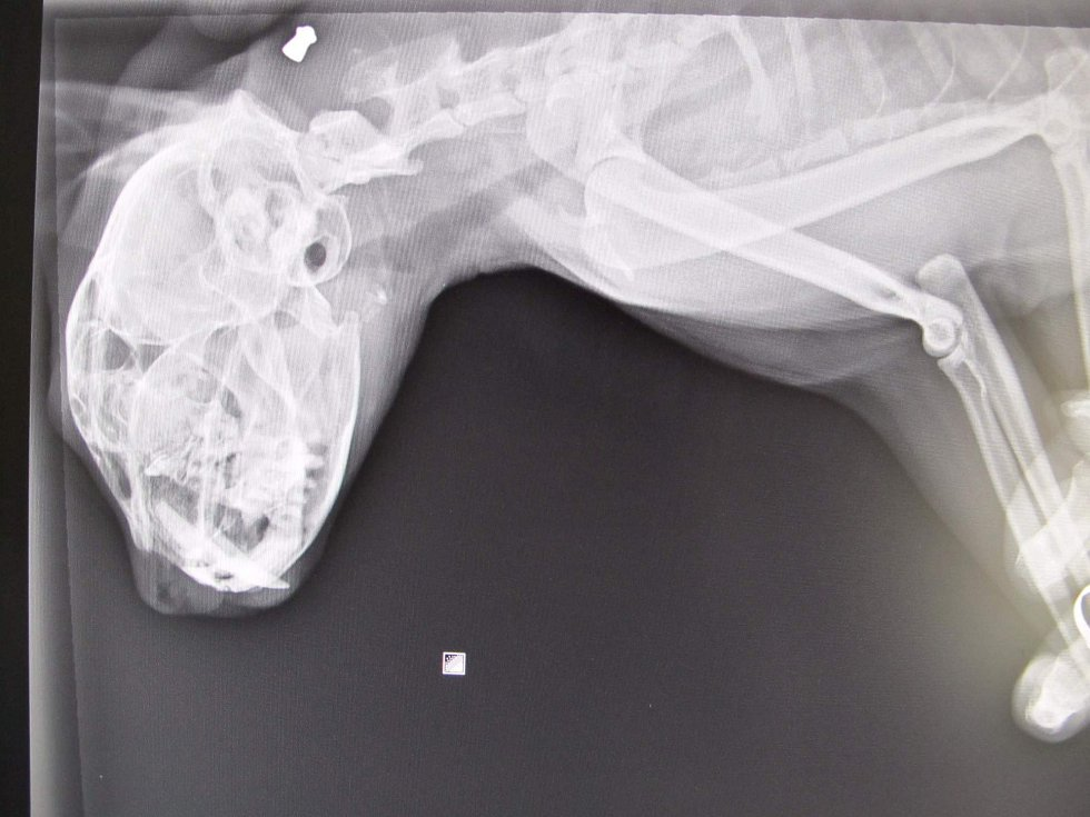 Postřelený kocour Monty má ránu na krku. Rentgenový snímek.