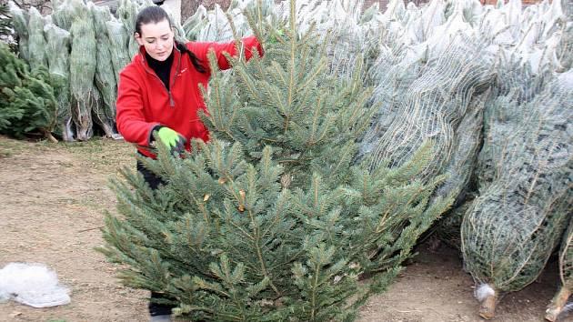 Rostislav Uhman vozí každoročně vánoční stromky z plantáží na Šumavě.