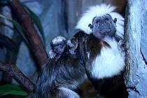 Třicátého ledna přivedl pár Tamarínů pinčích v hodonínské zoo na svět tři mláďata. Dvě ale odvrhl, a ta bez rodičovské péče zahynula.