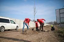 Výsadba červených dubů.