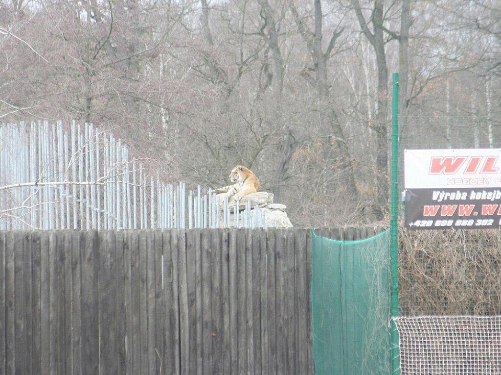 Nevšední divák - tygr ze sousední zoo