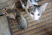 Kočku je možné si adoptovat v bzeneckém útulku.