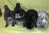 Na výstavě bude k vidění i několik plemen zakrslých králíků.