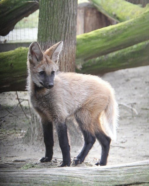 První veterinární prohlídka mláděte vlka hřivnatého vhodonínské zoo.