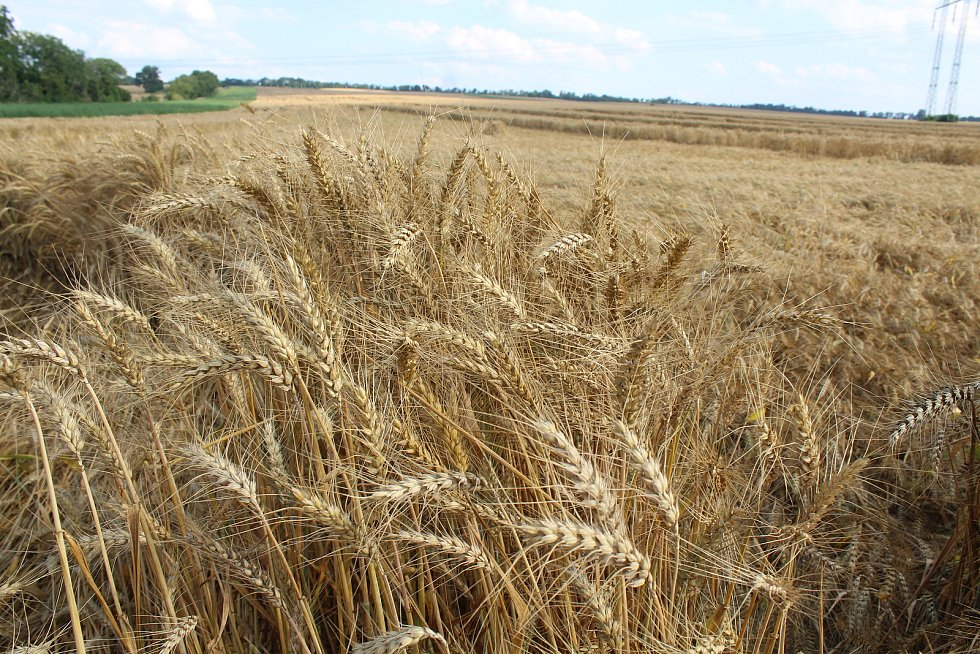 Obilné pole u Milotic před žněmi.