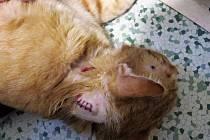 Postřelený kocour Monty má ránu na krku.