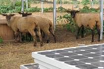 Noví sudoměřičtí zahradníci se starají o travnatou plochu sluneční elektrárny