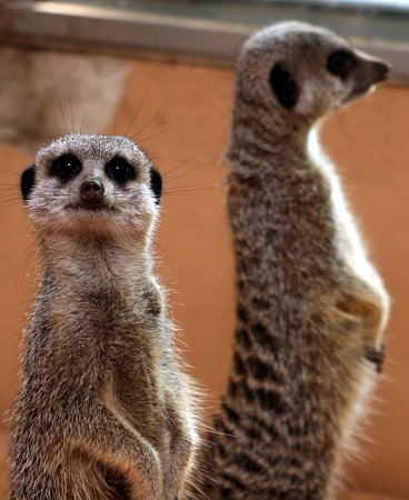 Do zoo vHodoníně přibyla skupina devíti surikat.