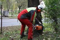 Za pomoci motorových pil ale i lan kácejí odborníci ve veselském zámeckém parku nepůvodní a nemocné stromy.