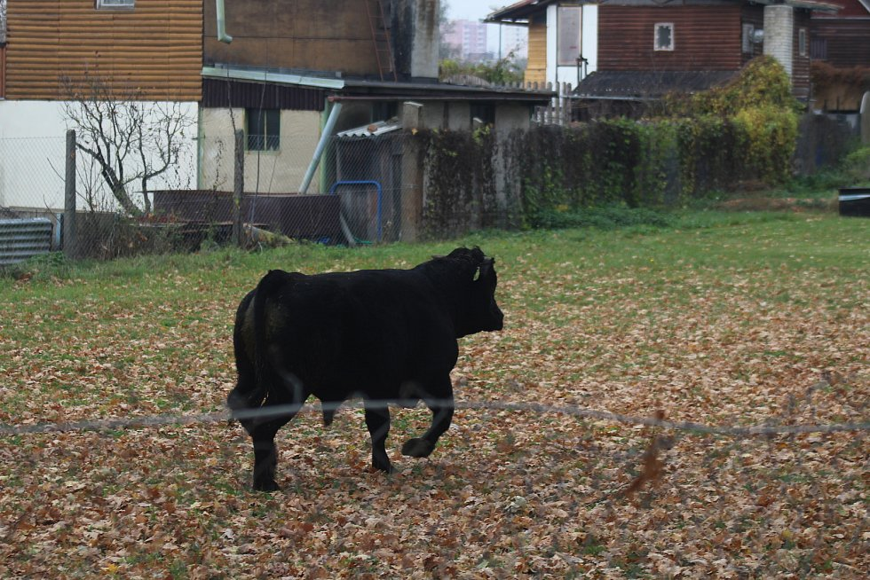 Býk utekl ze Slovenska, přepraval řeku Moravu a navštívil kynologický klub v Hodoníně.