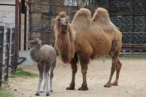 V hodonínské Zoo se narodilo mládě velblouda dvouhrbého.