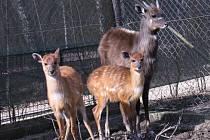 Stádečko sitatung chce hodonínská zoo rozšířit. Potřebovala by k tomu ale větší prostory.