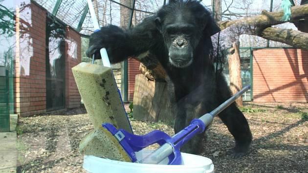 Opice umývá okna