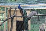 Karel a Klementýnka, pár pávů ještě ve voliéře ve veselském zámeckém parku.