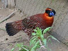 V Zoo Hodonín si nyní mohou návštěvníci prohlédnout expozice ptactva obohacené o ptačí druhy z pražské zoo. Na fotografii je satyr Temminckův.